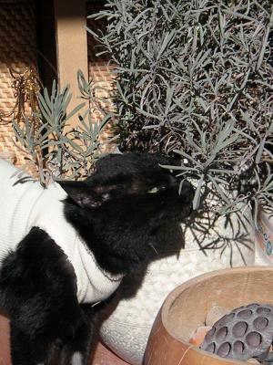 ラベンダーと姉ネコさん