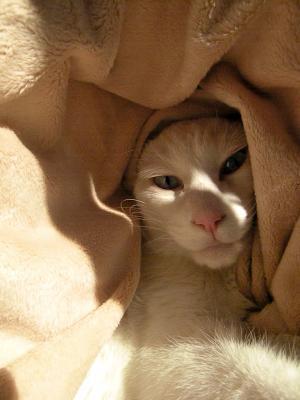 シロさん 毛布にかこまれて
