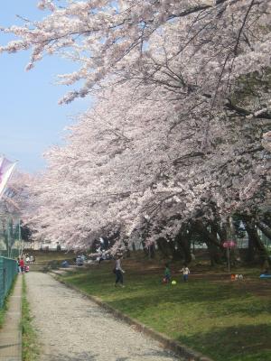 やっとこ、桜が咲きましたねぇ。
