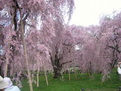 上を見渡せばいちめん桜の花ぁ。