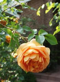 見ごろのバラ