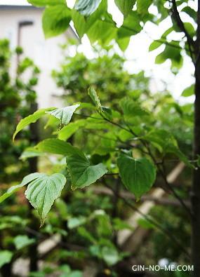 庭のシンボルツリー ヤマボウシ
