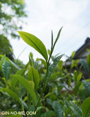 お茶の新芽
