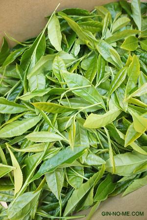摘んだお茶の葉