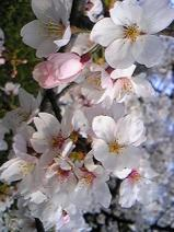 2011/4/10 利根町役場の桜1