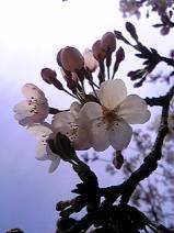 2011/4/10利根町役場の桜2