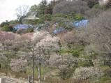 2011/3/30 偕楽園方面2