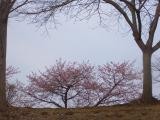 2011/4/3 那珂総合公園、河津さくら(里桜)