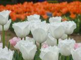 2011/4/22 ひたち海浜公園1 2011/5/6掲載