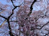 2011/4/10 額田、阿弥陀寺 しだれ桜 2011/5/6掲載
