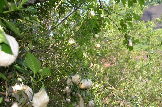 木登り名人 一番高い卵塊は 4.3m