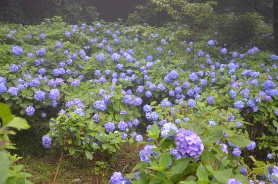あじさいレインボーラインの紫陽花