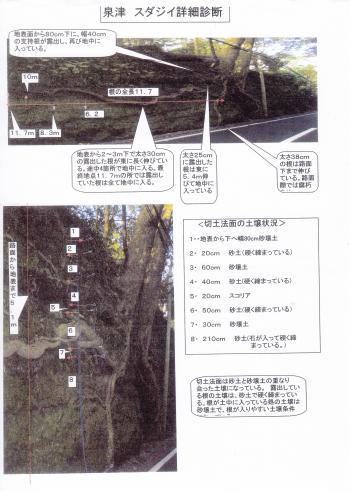 樹木医「宝来左松島」さん提供 露出している最長根は11.7m