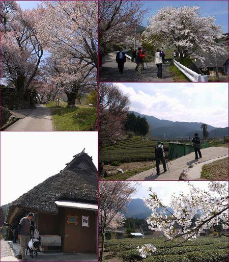 4-18 035 三多気の桜1