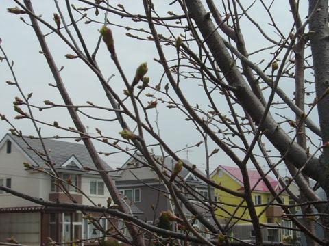 ニコライブルクの桜(2010.05.05)