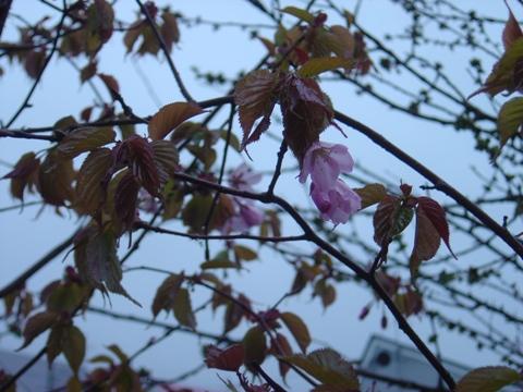 我が家の桜02(2010.05.12)
