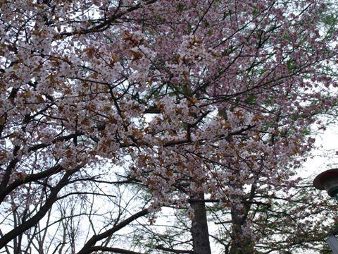 円山桜(2010.05.15)