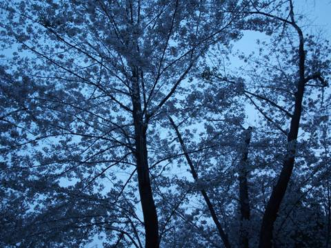札幌の標準木(2010.05.15)