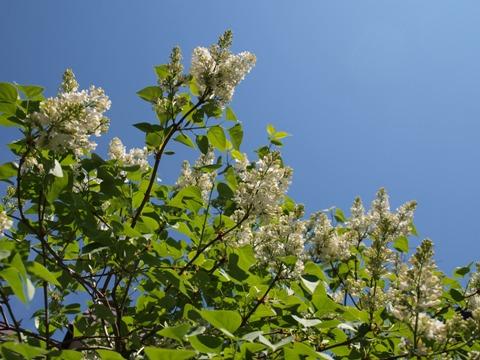 白のライラック01(2010.05.30)