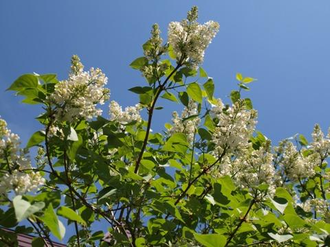 白のライラック02(2010.05.30)