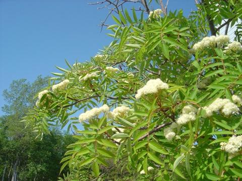 ナナカマドの花(2010.06.08)