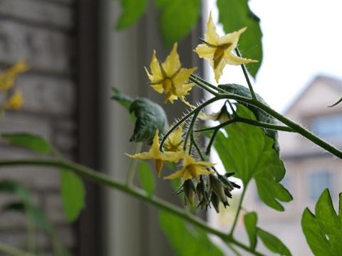 ミニトマトの花(2010.06.13)