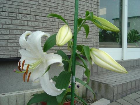 前庭カサブランカ02(2010.08.03)