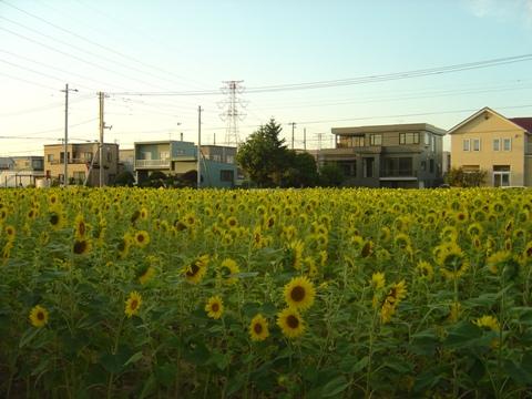 ひまわり畑(2010.08.17)