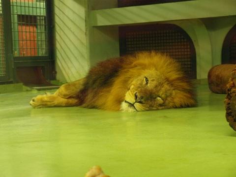 のびてるライオン父さん(2010.08.28)