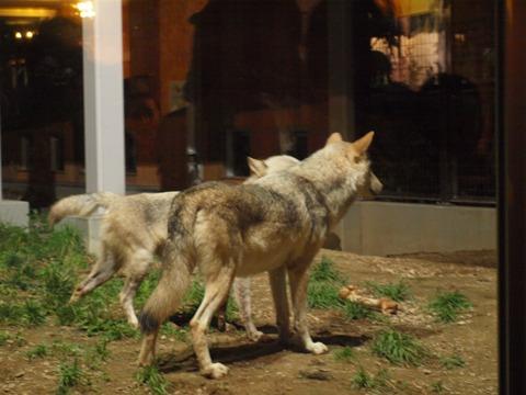 オオカミさん(2010.08.28)