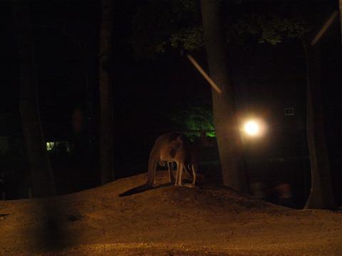 ハイイロカンガルーさん01(2010.08.28)