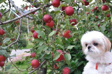 2012年高野りんご