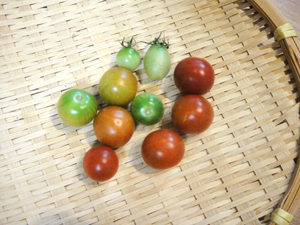 もがれたトマト