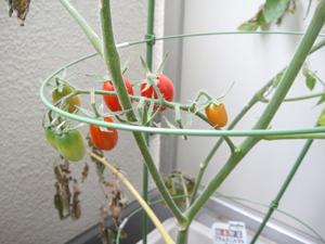 トマト収穫01