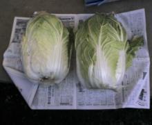 ただいま工事中です-巨大白菜