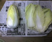 ただいま工事中です-白菜0110