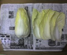 ただいま工事中です-白菜0111