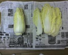 ただいま工事中です-白菜0112