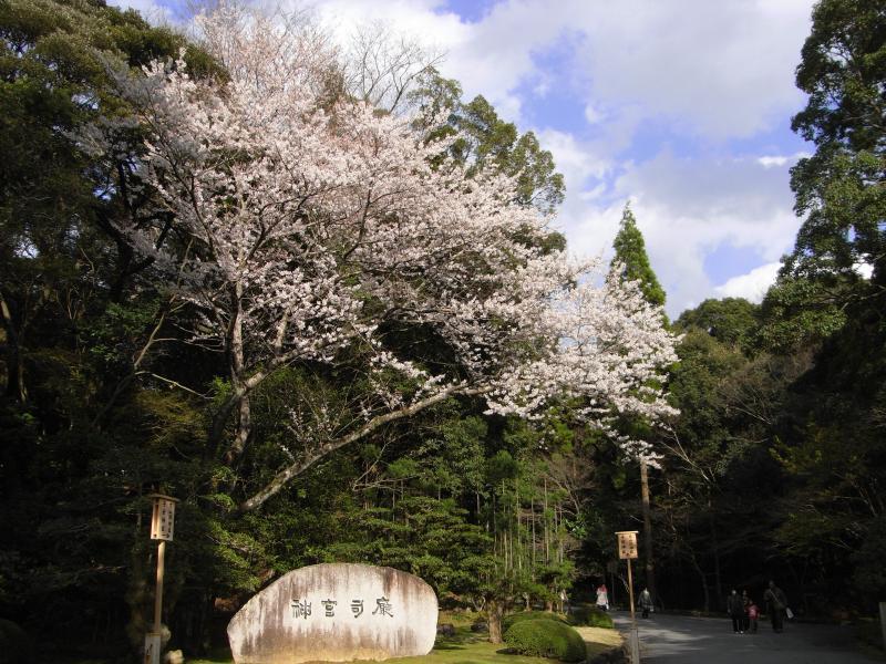 早咲きのソメイヨシノが咲いておりました☆