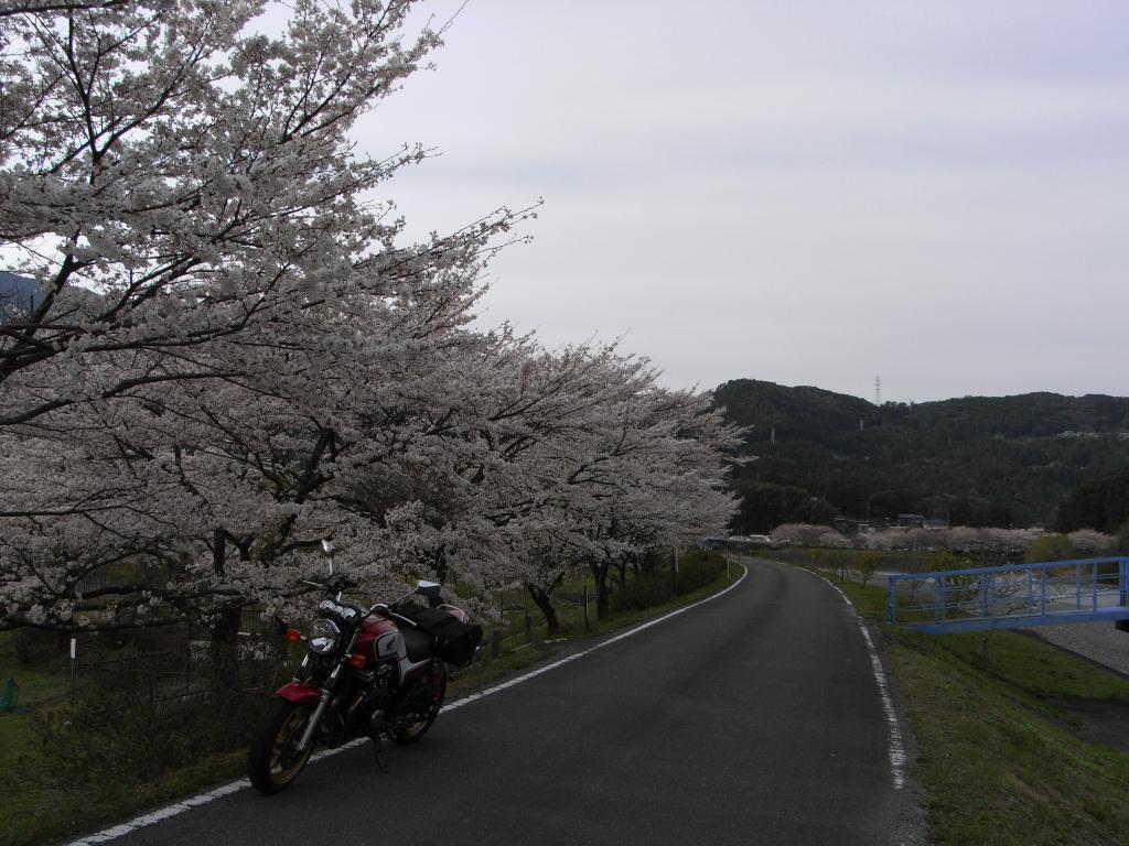 川沿いの土手に桜並木が気持ちいい道を発見☆日が隠れてしまっているのが残念(^^;