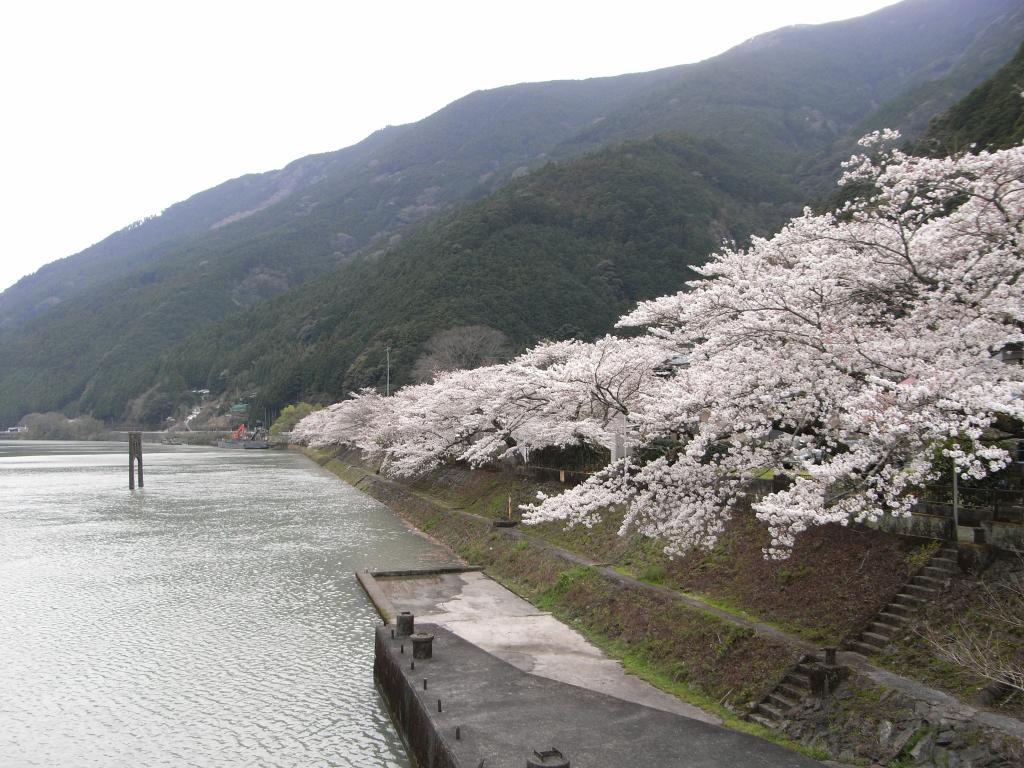 湖畔の桜は満開を迎えておりました☆