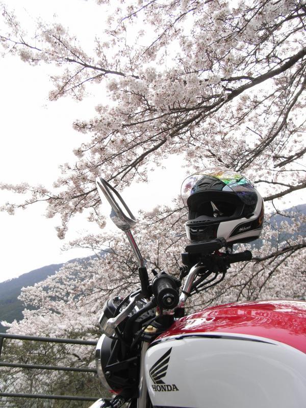 頭上には満開の桜が咲き誇っておりました♪