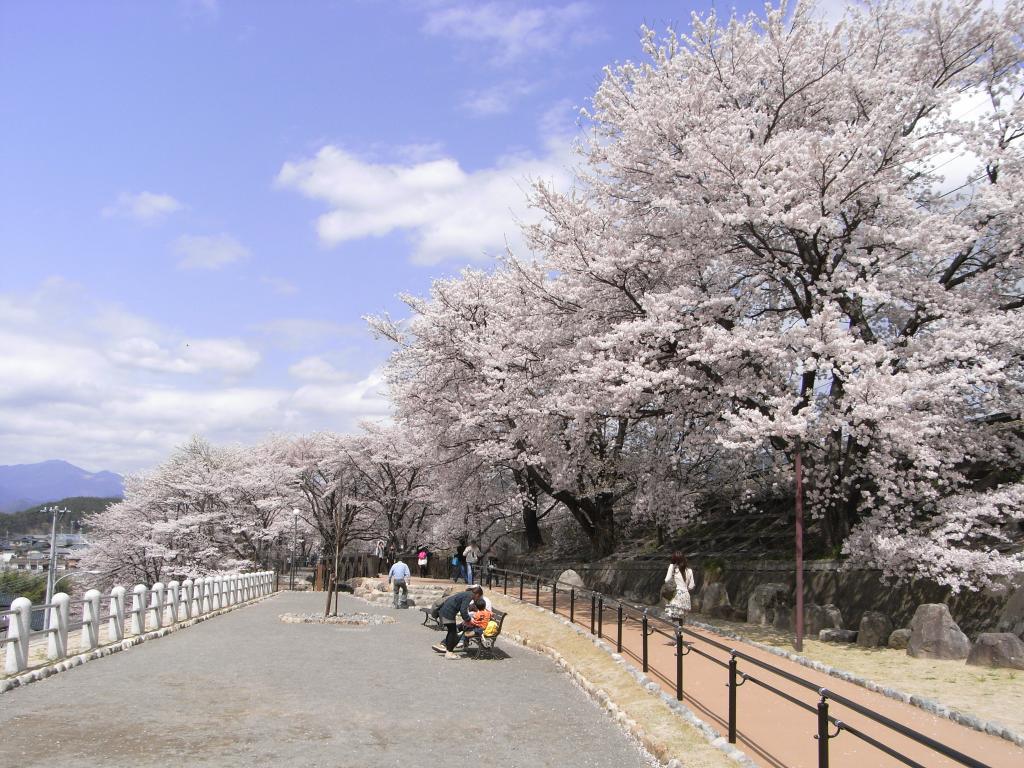 晴れた空の下、桜並木がどこまでも続いてます♪