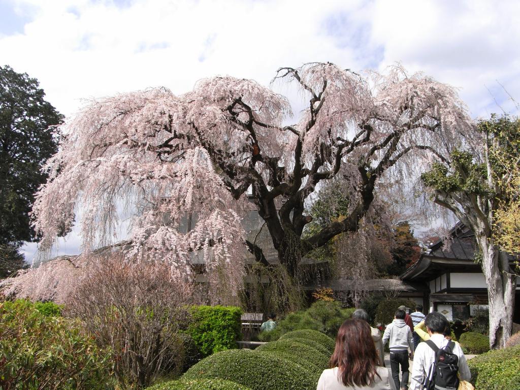 空へとそびえる様な見事なしだれ桜!