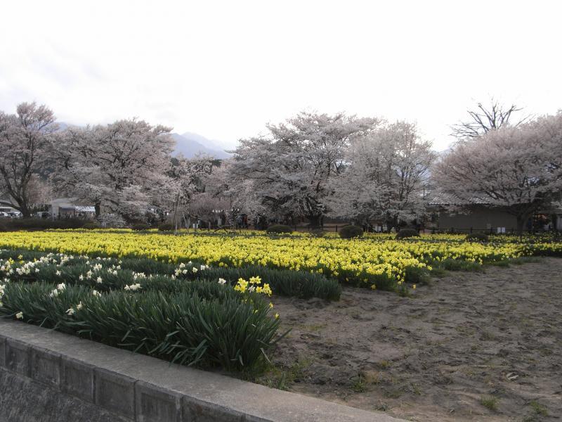 寺院内は、桜だけではなく、スイレンの花畑も美しく広がっています♪