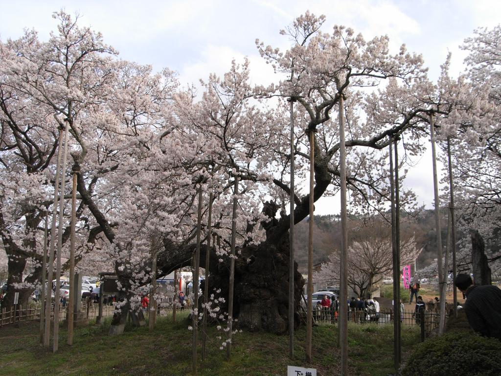 独特に変形した木の幹は、千年を越える時を生きてきた証ですね。。。