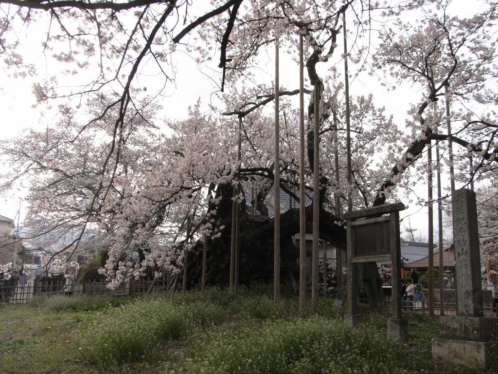 日本最古の桜にして、国の天然記念物でもあります。