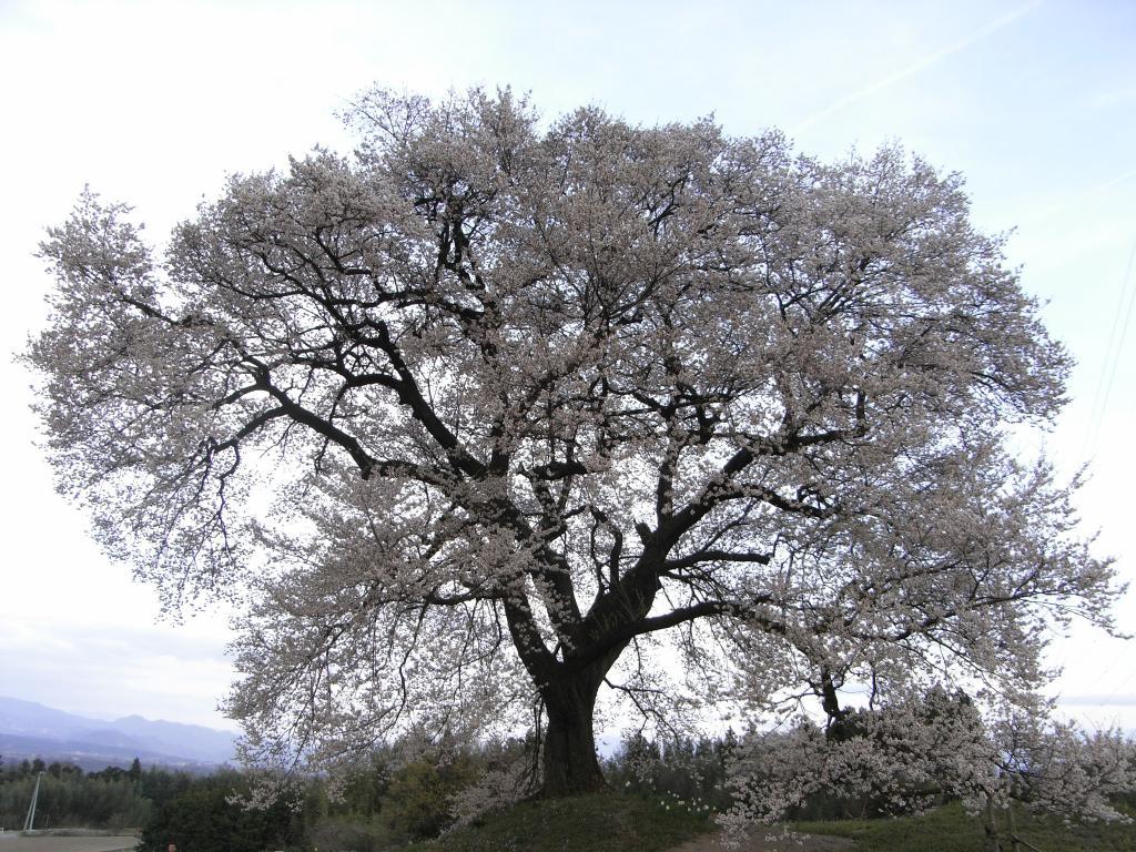 丘の上にこの一本だけが大きく満開の桜を咲かせているんです