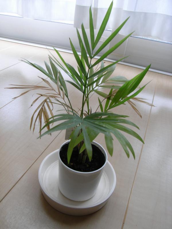 百円ショップで買った時から随分育ちましたが、所々葉っぱが弱ってきてますね