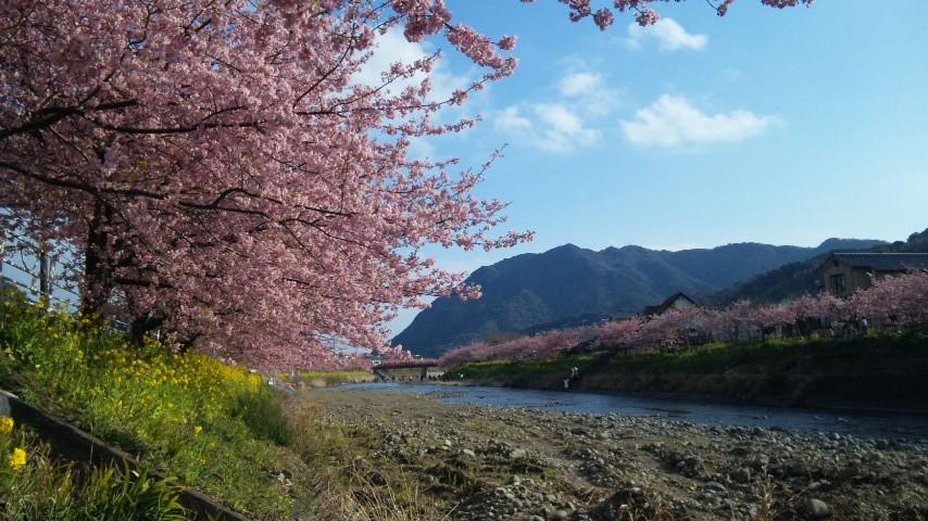 菜の花と桜と河津川と☆